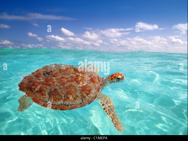 Green sea Turtle Chelonia mydas Caribbean sea Cheloniidae water surface - Stock-Bilder