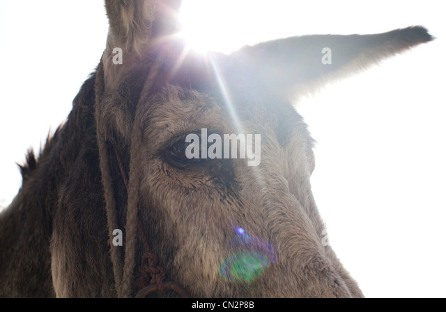 Donkey's head, close up - Stock Image