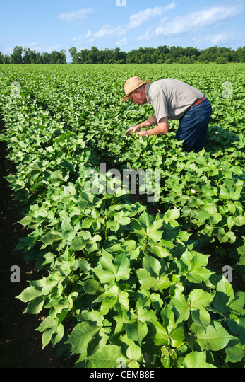 A crop consultant inspects a mid growth cotton crop in the advanced boll set stage for mid to late season insects - Stock Image