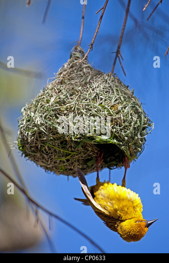 yellow weaver bird at its nest, South Africa, Western Cape, Namaqualand, Bitterfontein - Stock Image