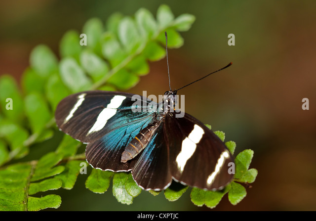 Sara Longwing Butterfly - Stock Image