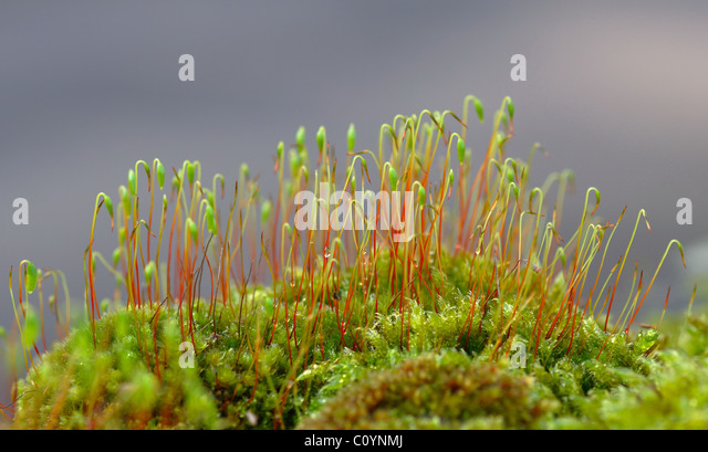 Green and red mosses growing on a wall - Stock Image