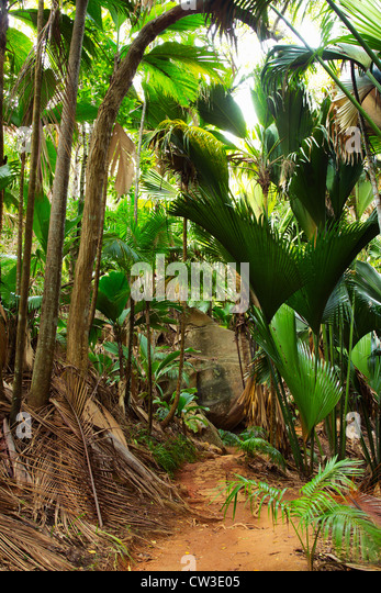 Vallée De Mai palm forest in Praslin.Seychelles - Stock Image