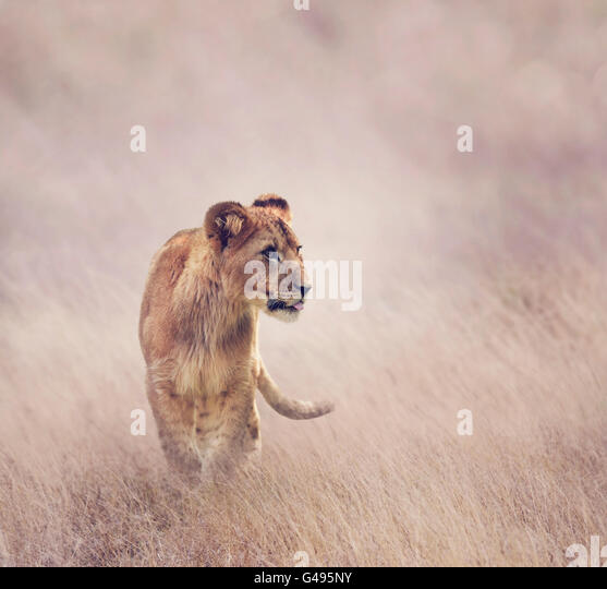 Lion Cub walking on grass - Stock Image