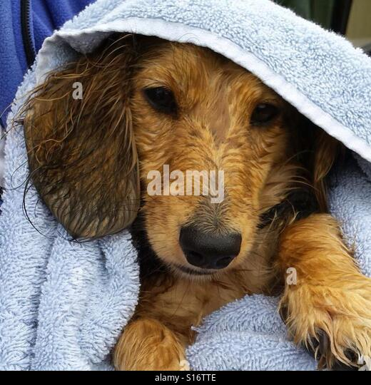 Stella the dachshund pup doesn't care for being dried off - Stock-Bilder