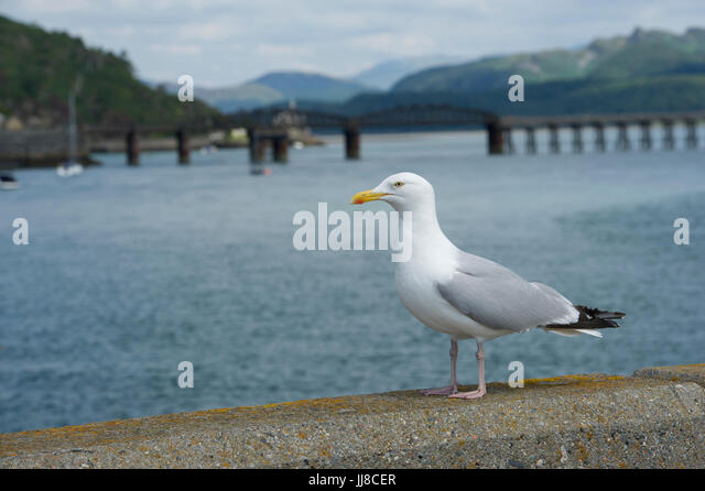 A Herring Gull (Larus argentatus) looks out over the Estuary at Barmouth in Wales - Stock Image