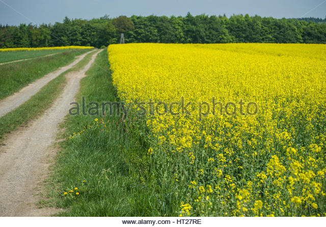 Yellow rapeseed field in Sweden with a gravel road leading into the forest. - Stock Image