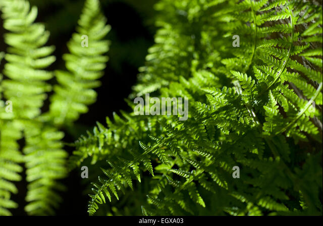 Green Fern leaf with dark background Patterns Nature. Black and Green - Stock Image