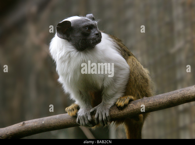 Pied Tamarin, Sanguinus b bicolor, Cebidae. A Bare Faced New World Monkey from Manaus, Brazil, South America - Stock-Bilder