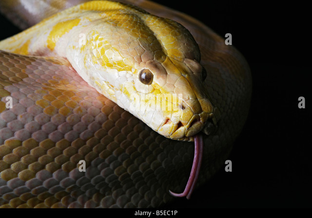 Snake Fangs Stock Photos & Snake Fangs Stock Images - Alamy