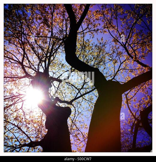 Tree with young leaves in spring sun - Stock Image