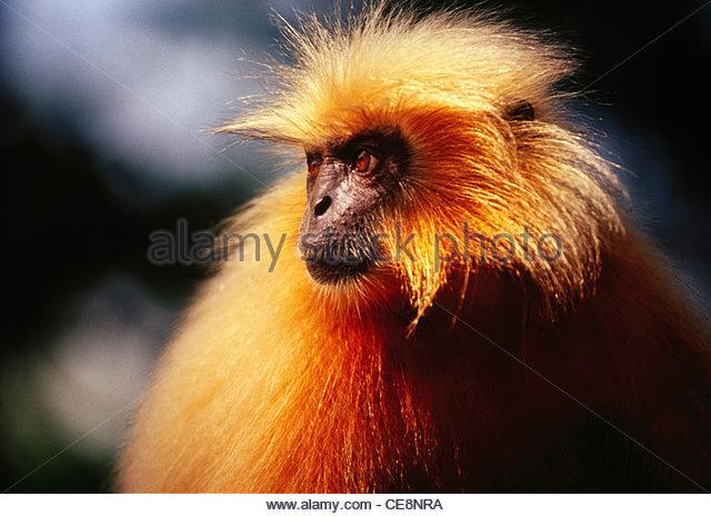 PSL 80930 : Golden Langur Monkey - Stock Image