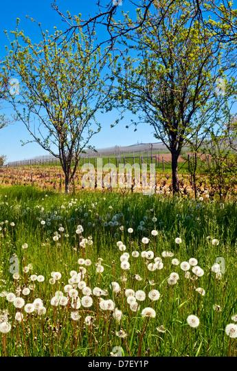 Dandelion in seed heads amongst grape vines - France. - Stock Image