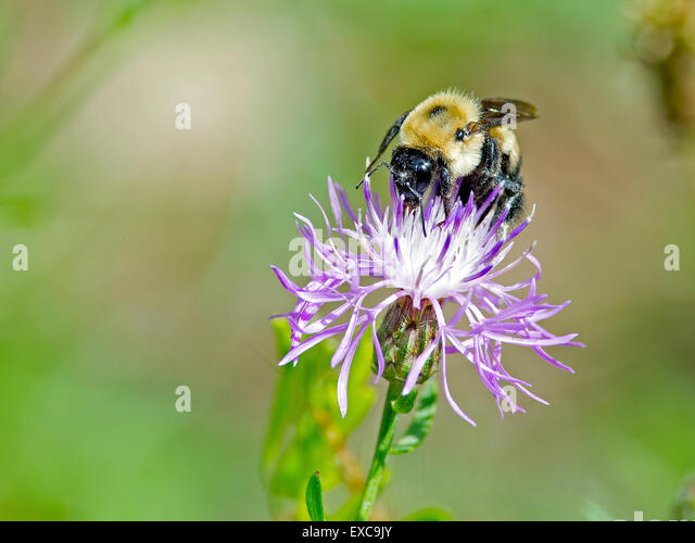 A Bee feeding on a flower - Stock Image