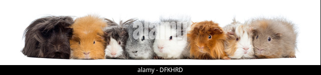 Guinea Pigs in a row against white background - Stock Image
