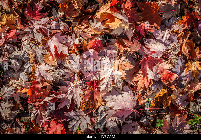 Colorful backround image of fallen autumn leaves - Stock Image