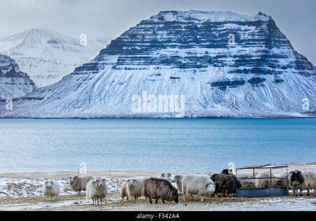 sheep with snowclad Kirkjufell beyond, Snaefellsness Peninsula, Iceland - Stock Image