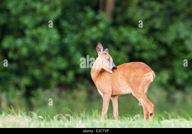 Young female Roe deer grooming herself in a meadow during the summer rut, Norfolk, England - Stock Image