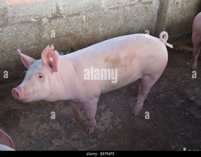 Large White commercial pig Kafuie Zambia Africa - Stock Image