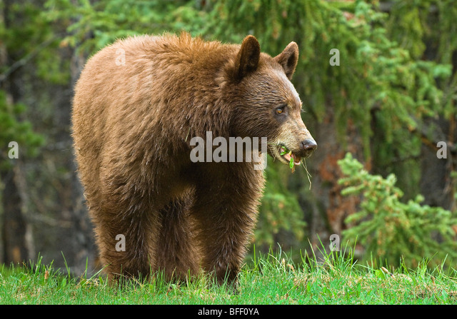 Cinnamon-coloured American black bear (Ursus americanus) grazing on roadside grasses and horestails Rocky Mountains - Stock Image