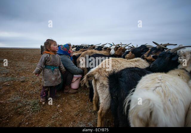 Mongolian nomads milking goats on the Gobi desert, Mongolia - Stock-Bilder
