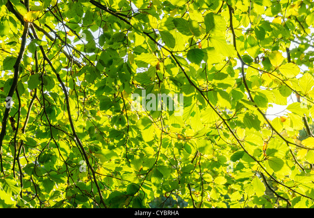 Sunlight shining through leaves on a tree - Stock Image