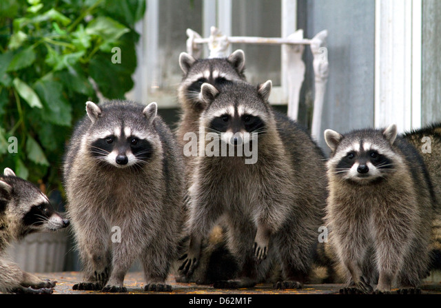 Raccoons at Shelton, Washington, USA. - Stock Image