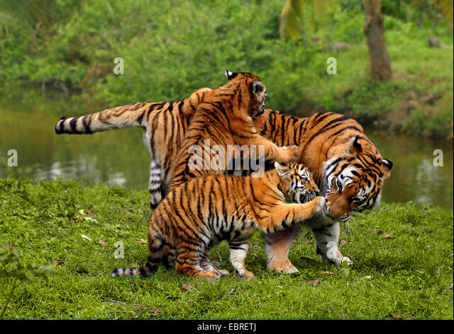 tiger (Panthera tigris), mother playing with young animals - Stock Image