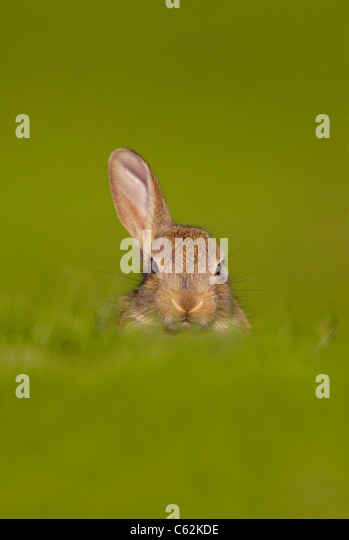 RABBIT Oryctolagus cuniculus  A curious young rabbit just raises one ear to listen for danger Norfolk, UK - Stock-Bilder