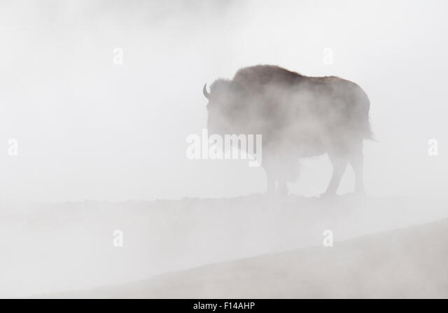 Bison (bison bison) in steam from hot springs, Yellowstone National Park, Wyoming, USA. - Stock Image