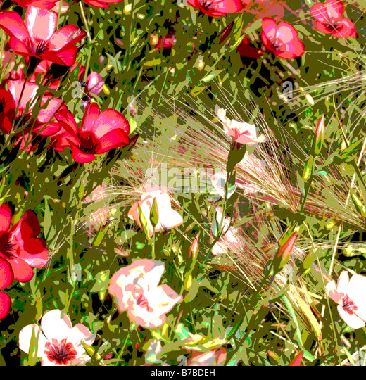 LINUM GRANDIFLORUM CHARMER MIXED RED FLAX AND STIPA IN ASSOCIATION MANIPULATED - Stock Image