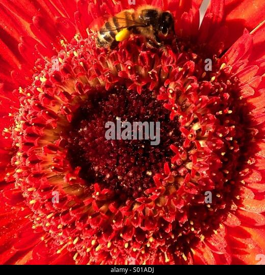 A bee sucks in a flower in Colonia Roma, Mexico City, Mexico - Stock Image