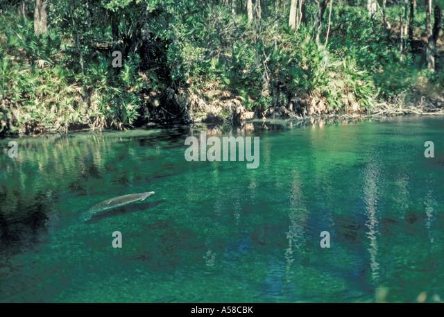 Florida Manatee Blue Spring State Park - Stock Image
