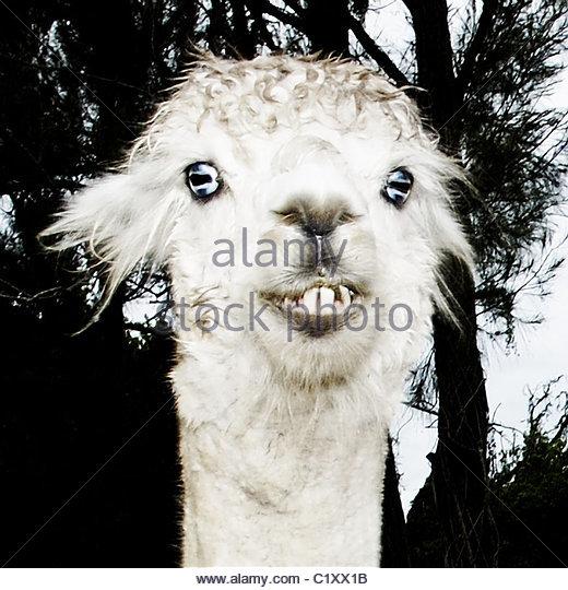 alpaca - Stock-Bilder