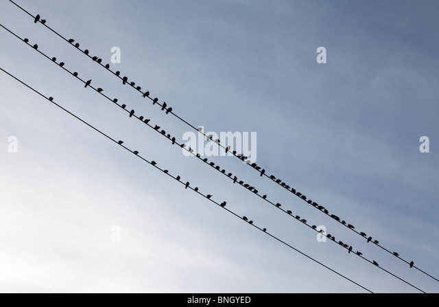 Low angle view of a flock of pigeons perching on power lines, Seattle, Washington State, USA - Stock Image