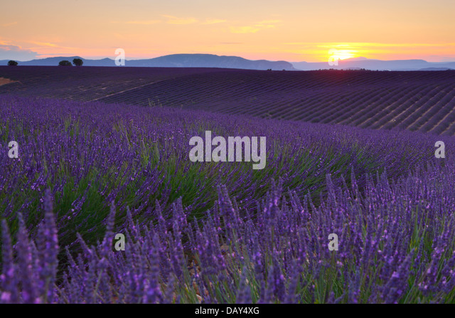 Lavender sunset nature lanscape. Valensole, France - Stock Image