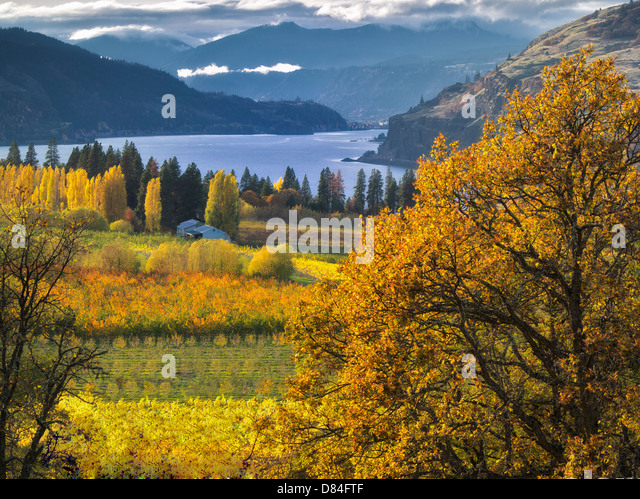 Orchard in fall colors and Columbia River. Columbia River Gorge National Scenic Area. Oregon - Stock-Bilder