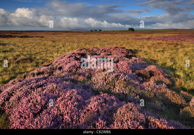 Purple summer heather as seen from High Crag Ridge near Glasshouses and  Pateley Bridge in Yorkshire - Stock Image