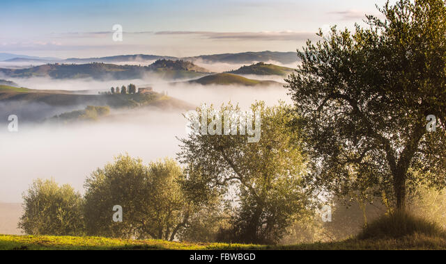 Olive trees in the hills of Tuscany. Near Asciano, Crete Senesi zone, Italy - Stock Image