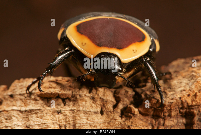 Congo Rose Beetle (Pachnoda marginata) - Stock-Bilder