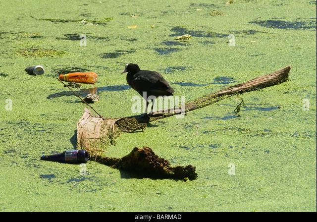 Moorhen Moorehen Morehen Moor Hen Stratford East London wildlife pollution - Stock Image