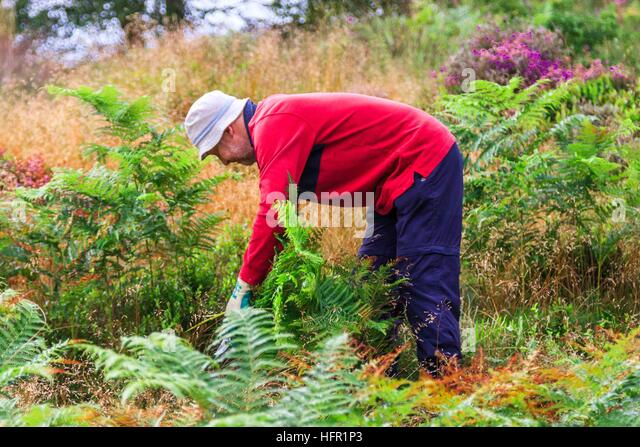 Volunteer worker maintaining fern growth on Highgate Common. - Stock Image