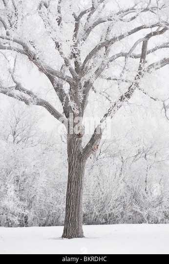 Winnipeg, Manitoba, Canada; A Tree Covered In Snow - Stock Image