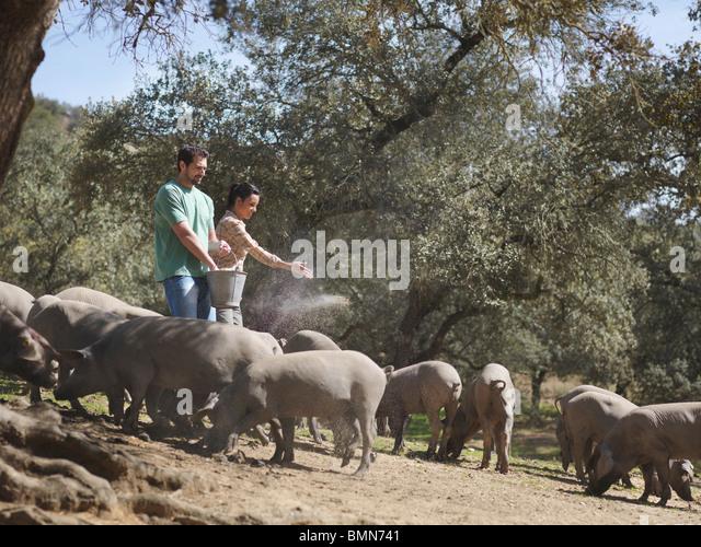 Man and woman on farm feeding pigs - Stock Image