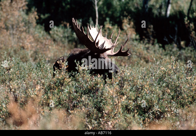 A bull moose in Yellowstone National Park Wyoming COPYRIGHT DUANE BURLESON - Stock Image