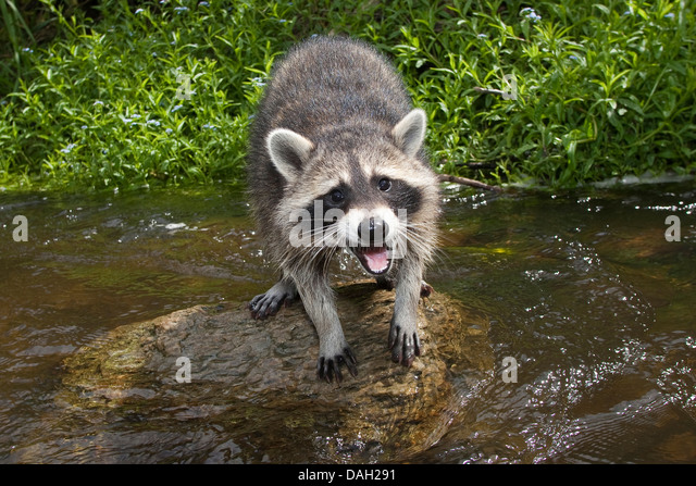 common raccoon (Procyon lotor), 4 months old male sitting with opened mouth on a stone in the creek , Germany - Stock Image