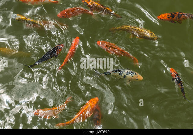 Carp fish stock photos carp fish stock images alamy for Koi fish farm near me