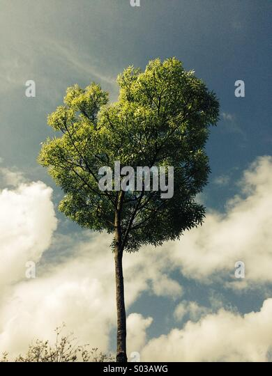 A solitary tree - Stock Image