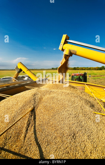 Harvested stockpiled oats are augered into a grain wagon and then into a grain truck fro transport to a grain storage - Stock Image