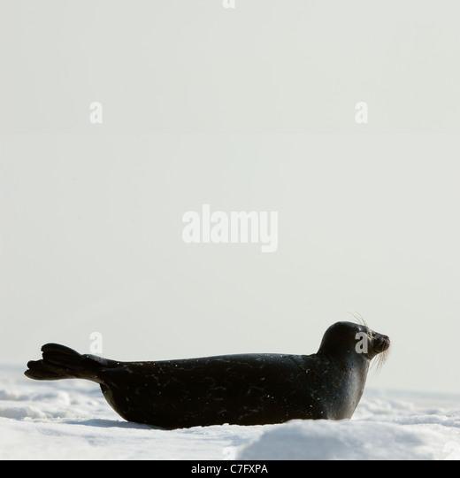 The Ladoga seal on ice. The Ladoga seal in a native habitat. Winter in Ladoga lake. - Stock Image